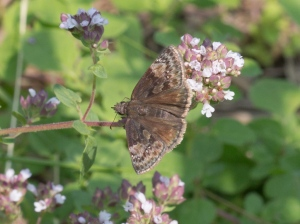 Horace's Duskywing, August 1 2014, by Doug Welch