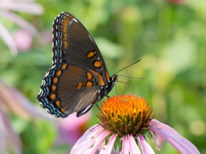 Red-spotted Admiral, August 1 2014, by Doug Welch