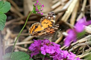 American Painted Lady on Lantana, July 20 2014, by Michelle Sharp