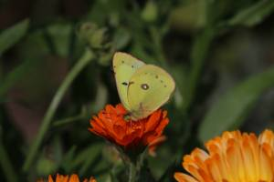 Sulphur on English Marigold, Aug 14 2014, by Michelle Sharp