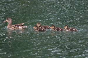 Ducklings, Aug 14 2014, by Michelle Sharp
