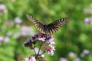 Baltimore Checkerspot, by Michelle Sharp