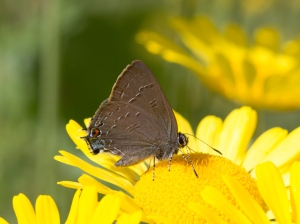 Banded Hairstreak on Santolina -- by doug welch, July 5