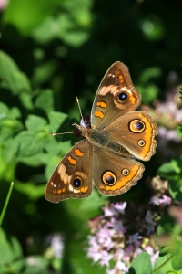 Buckeye Butterfly, Junonia coenia, July 8 2014, by Ron Rowan
