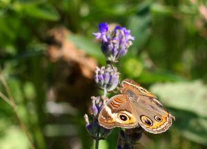 Buckeye Butterfly Junonia coenia