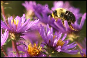 Bumble Bee and Purple Asters