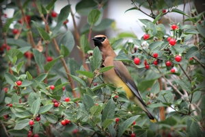 Cedar Waxwing, by Michelle Sharp