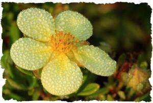 Dew on Cinquefoil flower, Aug 12 2014, by Ron Rowan