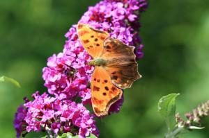 Eastern Comma, July 31 2014, by Ron Rowan