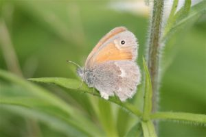 Common Ringlet, June 20 2014, by Michelle Sharp