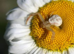 Crab Spider - Xysticus sp