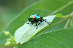 Dogbane Beetle, by Michelle Sharp