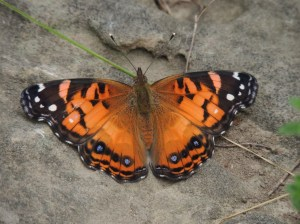 American Painted Lady, July 3 2014, by Bonnie