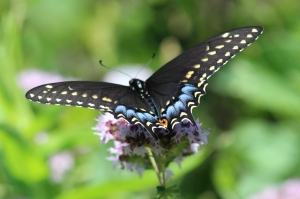 Eastern Black Swallowtail, by Michelle Sharp