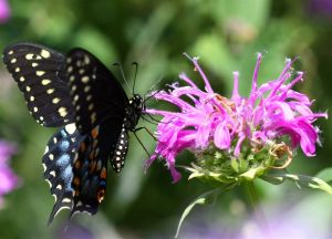 Eastern Black Swallowtail Butterfly Papilio polyxenes