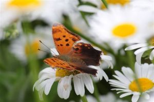 Eastern Comma, June 24 2014, by Michelle Sharp