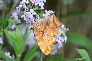 Eastern Comma on Buddleia Alternifolia, June 24 2014 by Michelle Sharp