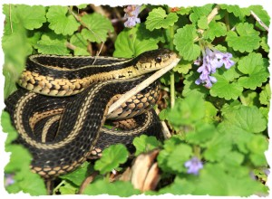 Eastern Garter Snake, June 10 2014, by Ron Rowan
