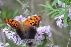 Eastern Comma on Buddleia Alternifoliam June 25 2014, by Michelle Sharp