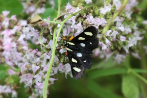 Eight-spotted Forester Moth, by Michelle Sharp