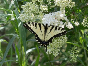 Eastern Tiger Swallowtail on Privet, June 21 2014, by Doug Welch