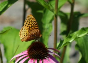 Great Spangled Fritillary Butterfly Speyeria cybele, by Ron Rowan