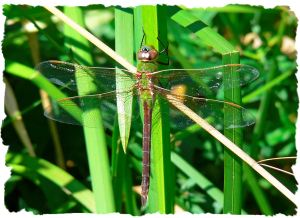 Green Darner Dragon Fly