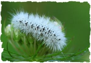Hickory Tussock Moth caterpillar, Aug 12 2014, by Ron Rowan
