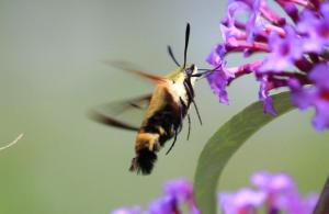 Hummingbird Clearwing Moth, July 31 2014, by Ron Rowan
