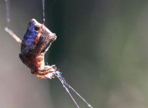 Humpback Orb Weaver Spider