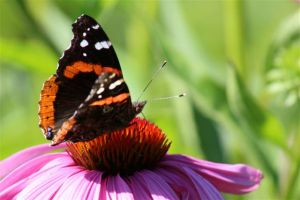 Red Admiral on Purple Coneflower, July 15 2014, by Michelle Sharp