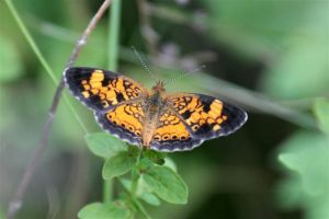 Pearl Crescent, July 7 2014, by Michelle Sharp
