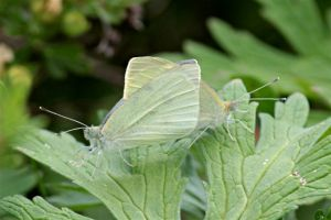 Cabbage Whites mating, June 24, 2014, by Michelle Sharp