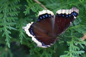 Mourning Cloak on Cedar, June 30 2014, by Michelle Sharp