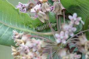Monarch Caterpillar, July 6 2014, by Michelle Clark