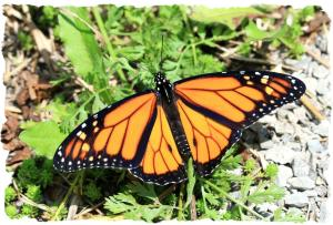Monarch, July 31 2014, by Ron Rowan