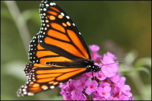 Monarch Butterfly, by Ron Rowan