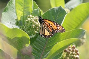 Monarch on Milkweed, June 26 2014, By Michelle Sharp