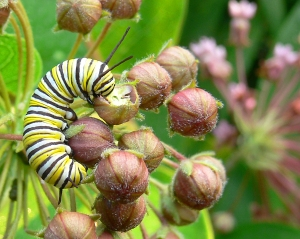 Monarch Butterfly Caterpillar Feeding On Milkweed