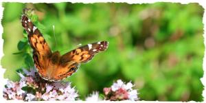 Painted Lady, July 31 2014, by Ron Rowan