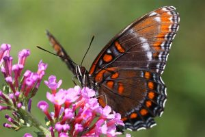 Red-Spotted Purple Butterfly, Limenitis Arthemis