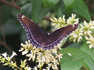 Red-spotted Purple on Privet -- July 8 2014, by Bonnie