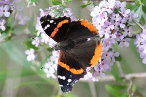 Red Admiral on Buddleia Alternifolia -- June 25 2014 by Michelle Sharp