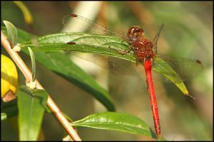Ruby Meadowhawk Dragonfly, by Ron Rowan