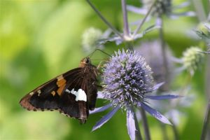Silver Spotted Skipper on Thistle -- June 28 2014, by Michelle Sharp