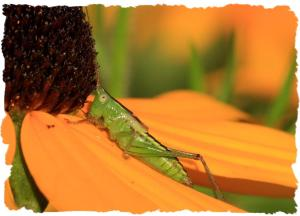 Katydid, Aug 12, 2014, by Ron Rowan