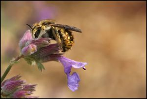 Wool Carder Bee - Leafcutting Bee - Anthidium manicatum