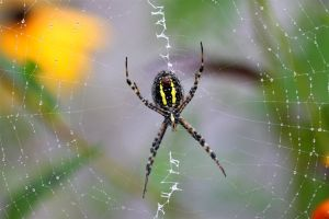 Banded Garden Spider, by Ron Rowan