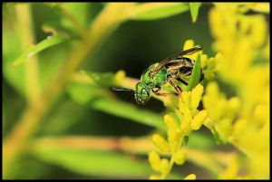 Green Metallic Bee, by Ron Rowan