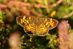 Pearl Crescent, by Ron Rowan